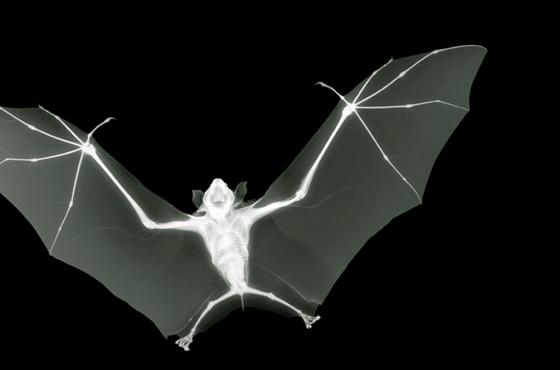 raio x morcego