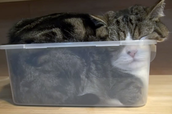 O gato Maru.