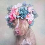 A fofura dos Pit Bulls em uma série fotográfica criada para estimular a adoção